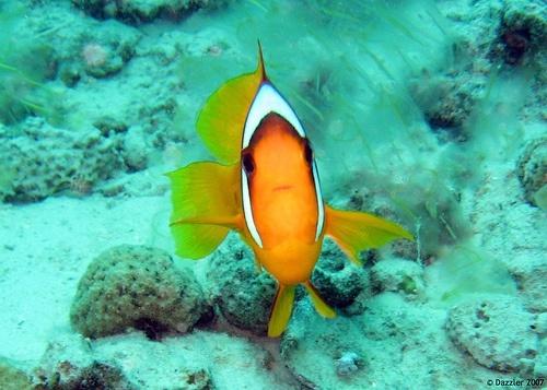 arrecife pez amarillo