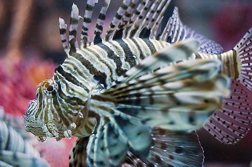 pez leon en corales