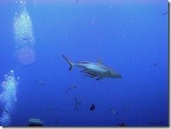 sharkfeeding.