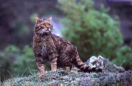 gato montes