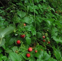 wild-strawberries-growing_thumb